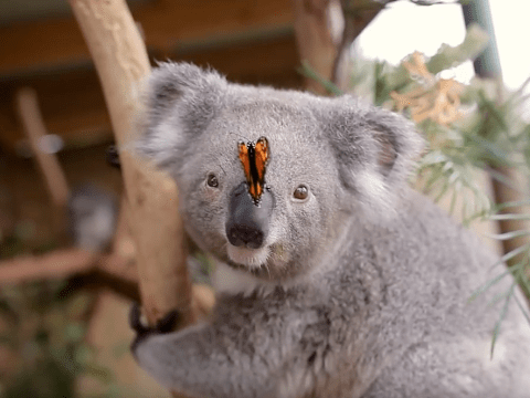 A koala and a butterfly are new best friends