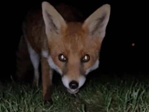 Thieving fox runs off with a phone