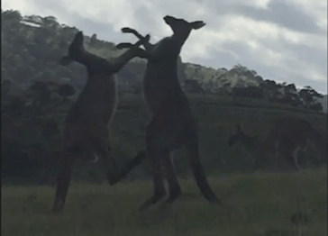 Kangaroos have a massive fight, luckily there's someone on hand to commentate