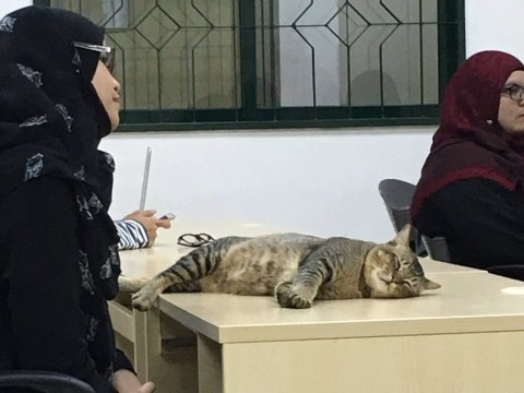 Hardworking cat wanders into a classroom, promptly falls asleep on a desk