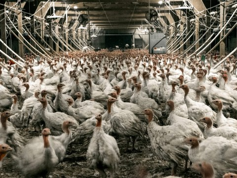 What life is really like for the 10million turkeys killed for Christmas dinner