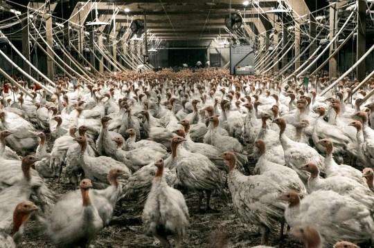 Image result for turkey slaughter uk