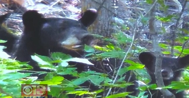 Woman's harrowing 911 call while she was being mauled by 200lb bear