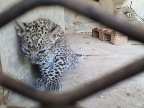 Leopard cubs trapped in abandoned zoo could starve to death within weeks