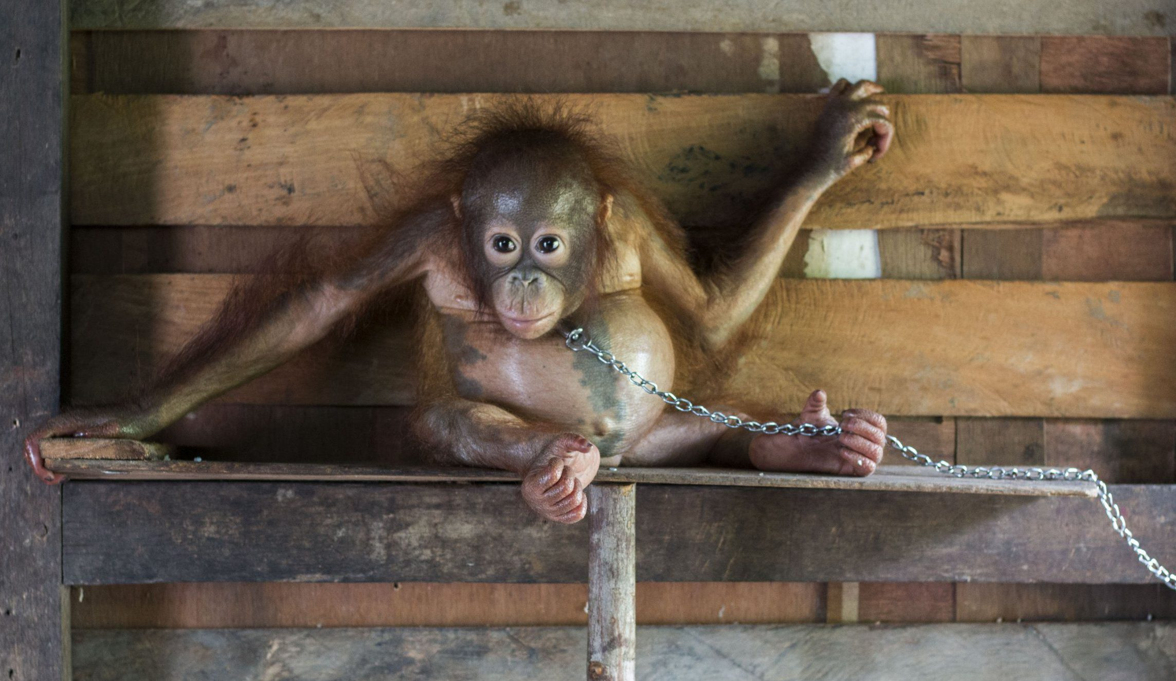 A baby orangutan has been rescued after spending six months chained by the neck to a narrow plank of wood in a family's kitchen. See National story NNAPE; The 18-month-old ape, named Bonika, was found chained so tightly around the neck that she was barely able to move from side to side, and was left stranded on the plank. But the International Animal Rescue (IAR) Orangutan Centre in Ketapang, West Borneo, heard about the orangutan and rushed to its aid 200km away. According to Bapak Hendrigus, the man who captured Bonika, he had been keeping her as a family pet since June when he claimed to have found her in the middle of a palm oil plantation. He was on his way to work at a rubber tree plantation when he said he spotted the little orangutan alone and looking thin, so he caught her and brought her home to live with his family. He says the ape fed on rice, sugar cane, biscuits, bread, mineral water and baby milk.
