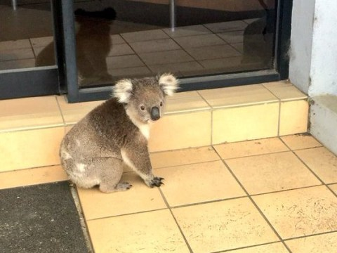 Koala with money woes visits accountant's office