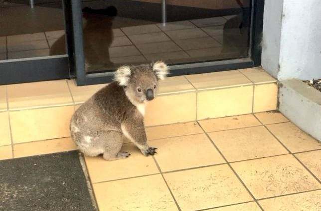 Koala visits his accountant Credit Twitter/Harriet Shing