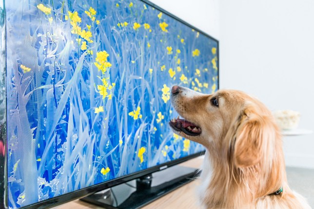 Dolly the golden retriever cross watches 'Woofering Heights'