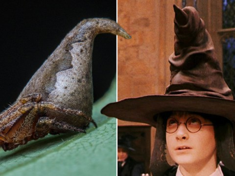 Researchers have found a spider that looks just like the Hogwarts sorting hat