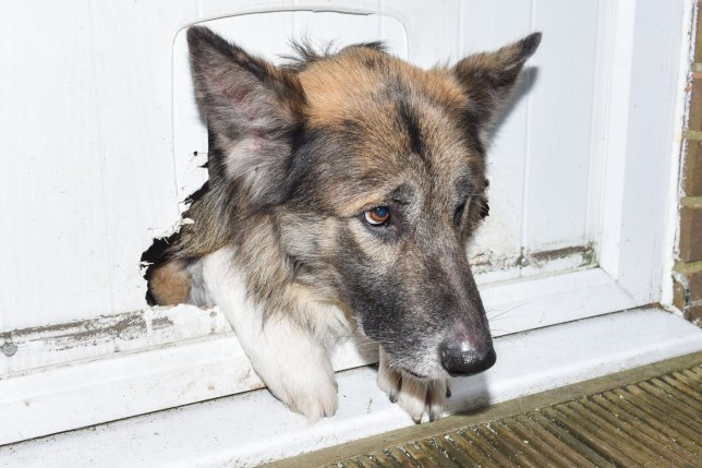 PIC BY MERCURY PRESS (PICTURED: A SHEEPISH LOOKING THEO THE GERMAN SHEPHERD CROSS POKING HIS HEAD THROUGH THE HOLE) A mischeivious mutt caused nearly £1,000 worth of damage when he ate his way through a DOOR ñ before getting his head stuck attempting to squeeze through the hole. Seven-year-old German Shepherd cross Theo chewed through a cat flap in the back door, which is nearly two inches thick, last month while owner Helene Plummer was at work. Thermal electronics assembler Helene, from Mossley, Gtr Manchester, was flabbergasted when she returned home to find the usually-chilled canine with his head lodged in the hole. SEE MERCURY COPY