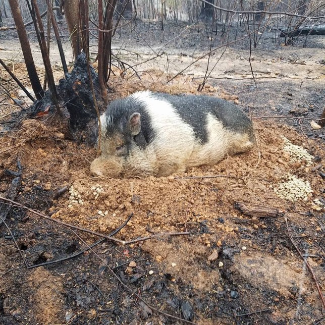 Charles the pig buried in mud after the fire. See SWNS story SWPIG; A heartbroken family returned to the their home which was destroyed by the killer Gatlinburg forest fires and found their beloved pet pig ALIVE - after he burrowed himself in MUD. Rob Holmes, 47, fled in terror with his wife and two children when the flames tore through Tennessee's Great Smoky Mountains and encircled his home last Tuesday. Him and daughter Andrea, 15, grabbed the family's four dogs while wife Amy, 26, carried their eighteen-month-old son Wyatt as they jumped over ''zapping power lines'' and through clouds of smoke with ''seconds to spare''. They reached safety after ''driving through hell'' with flames on either side but Andrea was heartbroken at leaving behind the 200lbs pig - and spent all night crying while imagining him perishing in the flames. But incredibly, Rob returned the next day and despite the $200,000 home and it's $75,000 of contents being obliterated - he heard a tiny ''oink'' coming from a pile of mud.