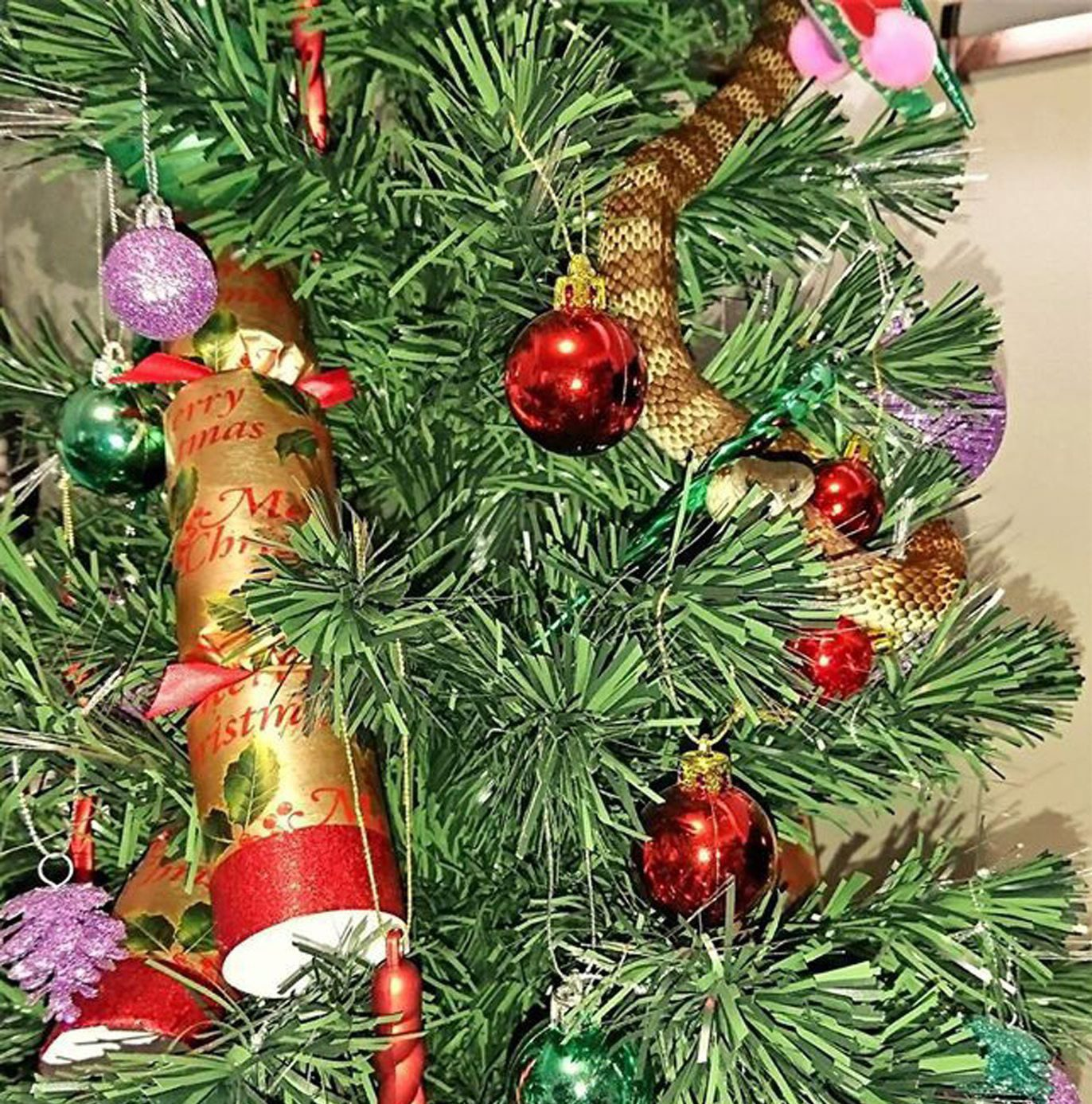 epa05681789 An undated handout picture made available by Snake Catcher Victoria Australia on 19 December 2016 shows a snake (top-L) hanging around a Christmas tree in a suburban home in Melbourne, Victoria, Australia. A woman from Frankston got an early Christmas surprise when she found a highly venomous tiger snake hanging among her Christmas tree decorations. After being caught by snake catcher Barry Goldsmit, the snake was reportedly released back to the wild. EPA/SNAKE CATCHER VICTORIA -- BEST QUALITY AVAILABLE -- AUSTRALIA AND NEW ZEALAND OUT HANDOUT EDITORIAL USE ONLY/NO SALES