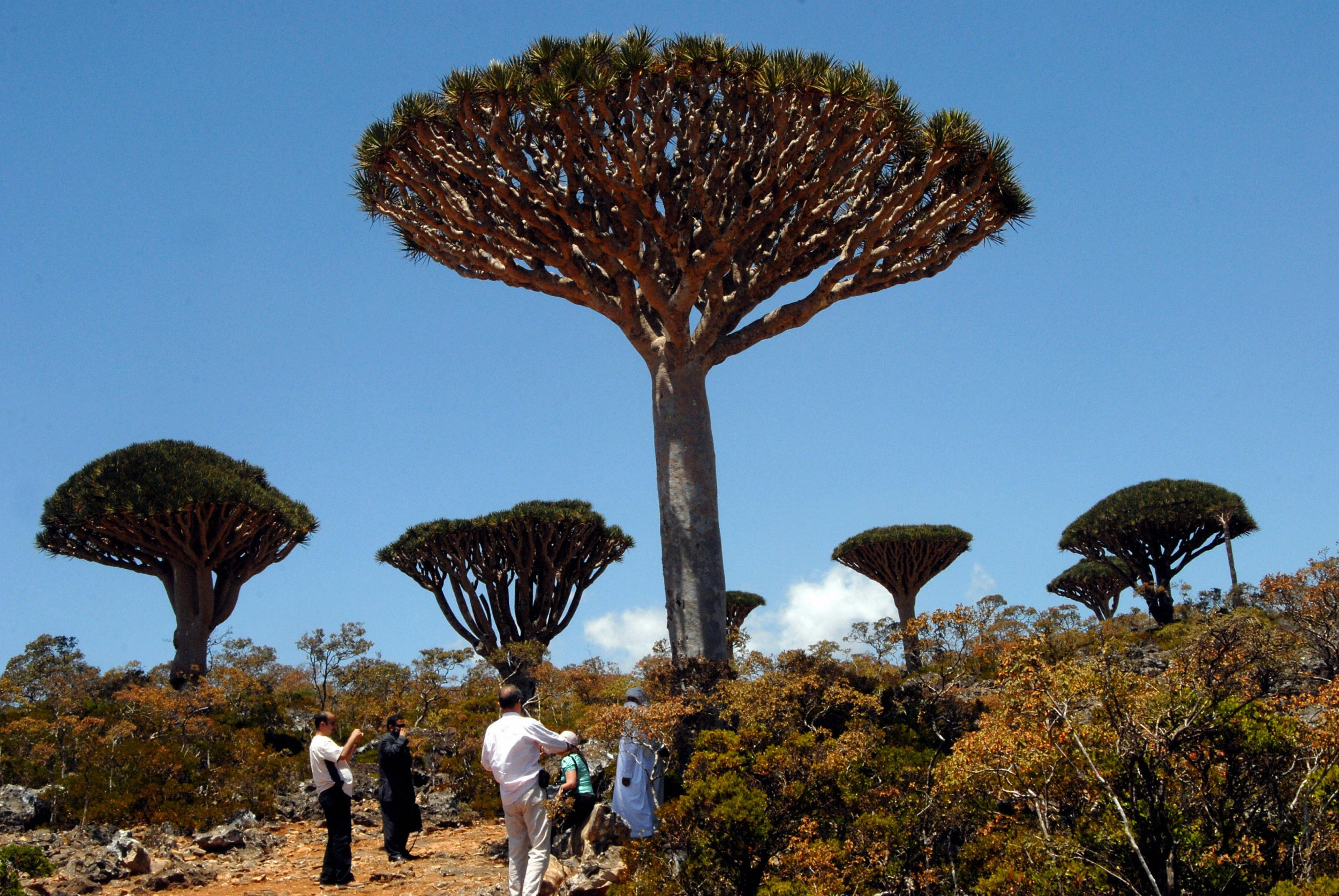 """Yemeni and foreign tourists gather to admire an example of the Dragon Blood tree on the virtually untouched Yemeni Island of Socotra, a site of global importance for biodiversity conservation, located in the northwestern Indian Ocean, some 350km south of the Arabian Peninsula on March 27, 2008. Socotra is the main island of an archipelago of the same name, sometimes referred to as """"the Galapagos of the Indian Ocean."""" The island is historically famous for its unique and spectacular vegetation -- botanists rank the flora of Socotra among the ten most endangered island flora in the world -- and now the opening of an airport in 1999 and other infrastructure developments are turning Socotra into a possible off-beat eco-tourist destination. The Dragon Blood tree is unique to the island. AFP PHOTO/KHALED FAZAA (Photo credit should read KHALED FAZAA/AFP/Getty Images)"""