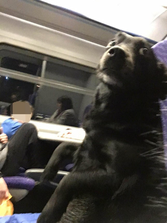 A TRAIN passenger has captured the ultimate evidence that the railways are going to the dogs. Hilarious pictures show the moment a dog made itself at home in the companyís carriages, sitting up like a human on a seat. Domenica Smailes (corr), from Largs, North Ayrshire, was travelling last Sunday when she was stunned to find a canine sitting next to her. She shared her amazing pictures on Twitter with the caption: ìActually got a strangerís dog sitting next to me on this train hahaha.î The snaps of her unusual travel buddy quickly went viral, gaining over 8,000 retweets and 24,000 likes with countless comments from amused users.