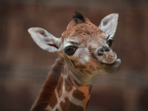 Incedibly rare Rothschild's giraffe born on Boxing Day