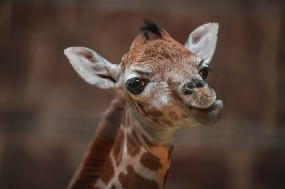 A rare Rothschildís giraffe calf born on Boxing Day at Chester Zoo has been described by keepers as ìthe best Christmas gift.î The six-feet-tall youngster, which is yet to be sexed or named, arrived to first time mum Tula and dad Meru at around 7am and was up on its feet just minutes later. Rothschildís giraffes are one of the most endangered subspecies of giraffe and one of the worldís most at risk species. Recent estimates suggest that less than 1,600 individuals remain in the wild, primarily as a result of poaching and habitat loss. Sarah Roffe, team manager of giraffes at the zoo, said: ìRothschildís giraffes are highly endangered and so the arrival of a new calf is a major cause for celebration. It really is the best Christmas gift we could have ever have wished for. ìShortly after being born, the calf was up on its feet within minutes, which was really pleasing to see. When it gets a little more used to its long legs it will be introduced to the rest of the herd but, for now, itís important that mum and calf spend a few days together striking up those early bonds. ìThis iconic species is often overlooked in Africa and, sadly, Rothschildís giraffes are experiencing a silent extinction. They are very much under threat in the wild, so itís vital that our new calf helps us to throw a spotlight on this amazing species. Hopefully, our not-so-little arrival can generate more awareness of the huge pressures that Rothschildís giraffes face in the wild.î In the last 45 years the population of the Rothchildís giraffes in Kidepo Valley National Park (KVNP) in Uganda ñ where they were once found in large numbers - has reduced by over 90%. A huge part of its decline was due to poaching in the 1990ís and since then the population has failed to bounce back as habitat loss continues to threaten their survival. Earlier this year Chester Zooís giraffe experts travelled to Uganda to help project partners, The Giraffe Conservation Foundation (GCF), conduct their first ever census on the Rothschildís giraffe species - an attempt to better understand why the population in the national park is not increasing. Tim Rowlands, the zooís curator of mammals, added: ìOur giraffe keepers have been out to Africa to lend their expertise and knowhow to an extremely important project which is aiming to improve the outlook for the species. Initiatives like this really show the role that modern zoos play in animal conservation and it will give us a better understanding of how we can help protect the species and its future.î Rothschildís giraffe facts: ¿ The Rothschildís giraffe is named after zoologist Lord Walter Rothschild, founder of the National History Museum in Tring, Hertfordshire ¿ They are also known as the baringo or Ugandan giraffe ¿ The species is identified by its broader dividing white lines and has no spots beneath the knees ¿ Giraffe population figures are declining across Africa ¿ Rothschildís giraffes are classed as endangered by the International Union for Conservation of Nature (IUCN) with current population estimates suggesting less than 1,600 remain in the wild ¿ With less than 1,600 individuals remaining in the wild the Rothschild's giraffe is more endangered than species such as African elephants and giant pandas ¿ Roughly one-third of the surviving population of Rothschildís giraffes live in zoos where carefully co-ordinated breeding programmes are creating a safety-net population for the species ¿ Once wide-ranging across Kenya, Uganda and Sudan, the Rothschildís giraffe has been almost totally eliminated from much of its former range and now only survives in a few small, isolated populations in Kenya and Uganda ¿ Predators to the Rothschildís giraffe are hyenas, lions, crocodiles and leopards. The main threat to the species now is loss of habitat and poaching for meat and hides ¿ In the past, giraffes were hunted for their tails, which were used as good-luck charms, sewing thread and even fly swats ¿ The species is one of the most endangered of the nine sub-species of giraffe ¿ Mum Tula is six years old who herself was born at Chester. Tula weighs 696kg ¿ Dad is called Meru When: 27 Dec 2016 Credit: Chester Zoo/Cover Images **All usages and enquiries, please contact Glen Marks at glen.marks@cover-images.com - +44 (0)20 3397 3000**