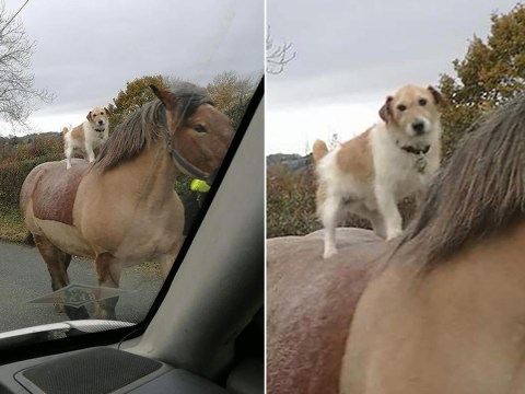 Nothing to see here – just a dog riding a horse