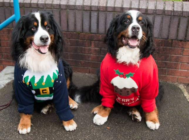 Christmas Sweaters For Dogs.Christmas Jumper Day 19 Dogs Wearing Christmas Jumpers