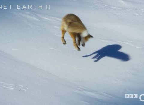 Planet Earth viewers could really relate to the fox with its head in the snow