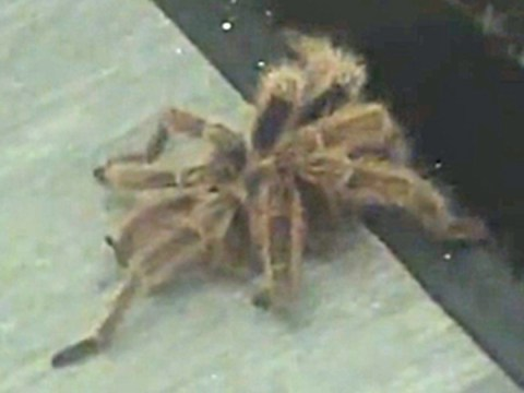 Escaped tarantula's epic journey across 24 rooms at Manchester uni