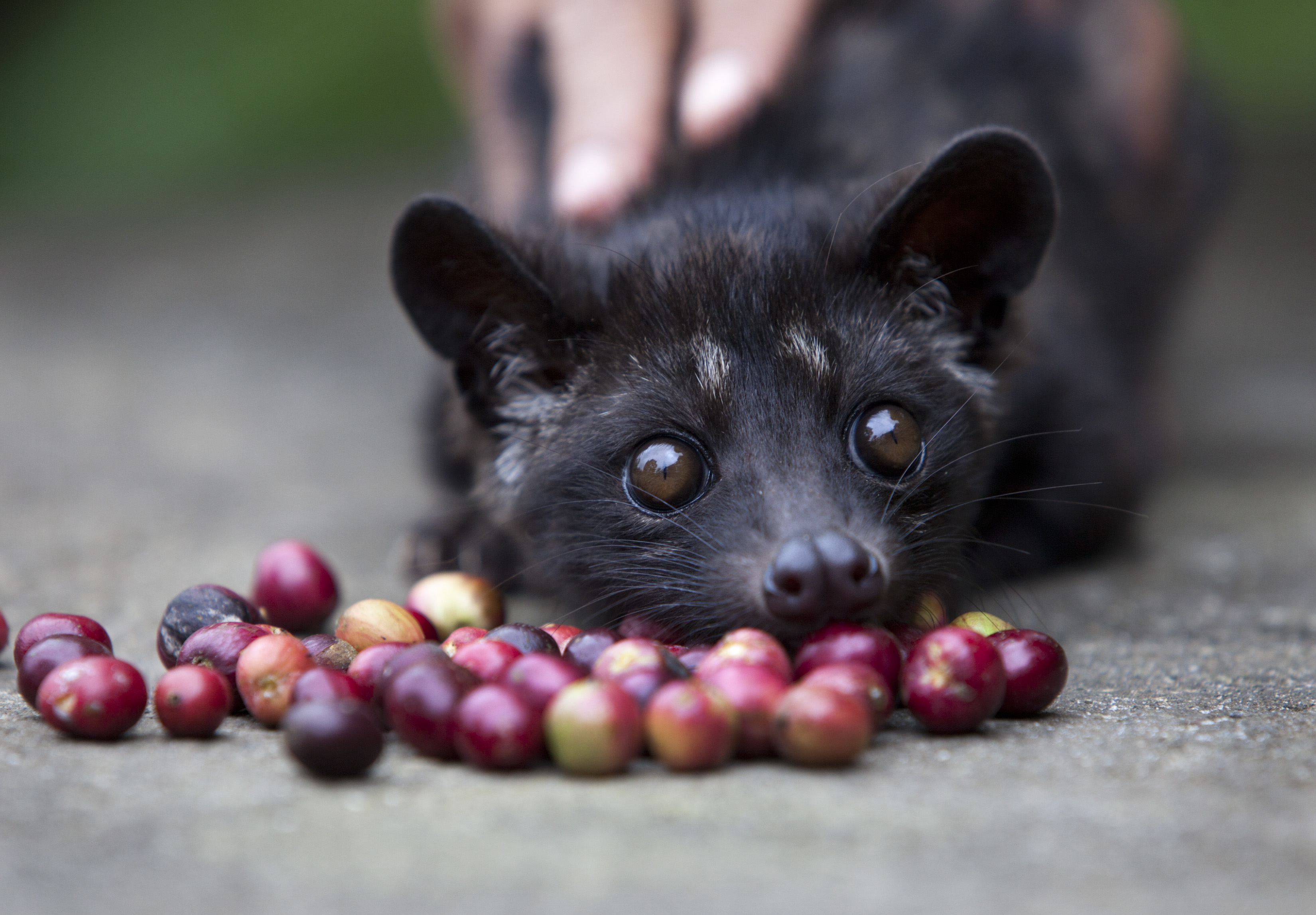 TAPAKSIRING, BALI, INDONESIA -JANUARY 20: A four month old Luwak is tempted by some red coffee beans at the BAS Coffee plantation January 20, 2011 in Tapaksiring, Bali, Indonesia. The Luwak coffee is known as the most expensive coffee in the world because of the way the beans are processed and the limited supply. The Luwak is an Asian palm civet, which looks like a cross between a cat and a ferret. The civet climbs the coffee trees to find the best berries, eats them, and eventually the coffee beans come out in its stools as a complete bean. Coffee farmers then harvest the civet droppings and take the beans to a processing plant. Luwak coffee is produced mainly on the islands of Sumatra, Java, Bali and Sulawesi in the Indonesian Archipelago, and also in the Philippines. (Photo by Paula Bronstein /Getty Images)