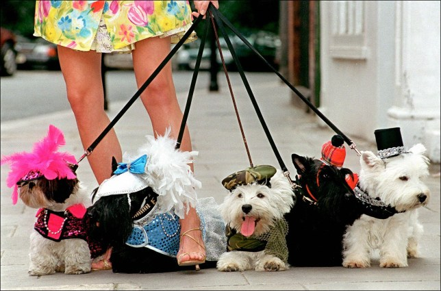 A model holds walks with dogs dressed in the newly launched doggie designer clothes from the Barking mad label