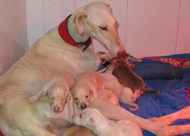 (Pic- ibizan hound rescue/ facebook)