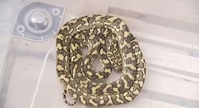 A carpet python, beautifully rolled up like a cinnamon bun