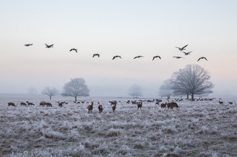 Geese and deer can be seen on a frosty morning in Richmond Park, London. Winter - 28 December 2016.