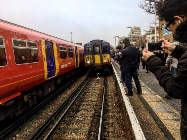 This is the hilarious moment a train was delayed because it was forced to crawl along following a stubborn SWAN waddling on the tracks - for two MILES. See SWNS story SWSWAN; Commuters were in a right flap when the train from Teddington was forced to slow down to a snail - or a swan - pace after leaving the station. But they were left baffled when train staff announced the delay was due to a swan waddling ahead of the train and refusing to get off the track. Hilarious videos show the bird waddling along with the slow-moving train just a metre behind, as it pulled into Kingston station more than two miles away.