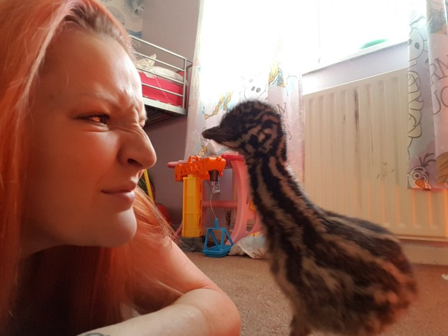 Please note sent under embargo - no online use before 3pm Charlotte Harrison with her pet emu which she bought as an egg off ebay. See SWNS story SWEMU; A 24-year-old mum who incubated an emu egg bought from eBay in her home tells how she nurtured and hatched an emu ñ who now thinks sheís his mother. Charlotte Harrison was given the £25 egg as a present in November and used online advice to nurture it for 47 days. Using a home incubating kit, the mum-of-three weighed and turned the egg daily and learnt how to ësqueak and whistle like an emuí from YouTube videos. Last week, she spent four hours ëcoaxingí the chick as he hatched ñ and tells how ëKeviní the emu now follows her around her three-bedroom home in Bordon, Hampshire, because he ëthinks sheís his mumí.