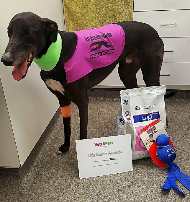 PIC FROM MERCURY PRESS (PICTURED: ONE OF THE LUCY CONLEY'S DOGS KOBY WEARING A 'K9 BLOOD DONOR' COAT ) Meet the UKís ONLY emergency dog blood donor team ñ 11 brave rescue greyhounds who have saved hundreds of canine lives to date. The K9 Blood Donors are on call around the clock ñ ready to come to the rescue of any pooch in urgent need of a life-saving blood transfusion. Loving owner Lucy Conley, 47, from Rotherham, South Yorks has steadily built up the amazing squad since September 2015 and the pooches donate between 450 and 630 millilitres of blood a time to help injured dogs whenever this is required. Day or night she and her dogs, all ëfailedí racing greyhounds, will fly into action ñ and she says the pups absolutely love saving lives. SEE MERCURY COPY