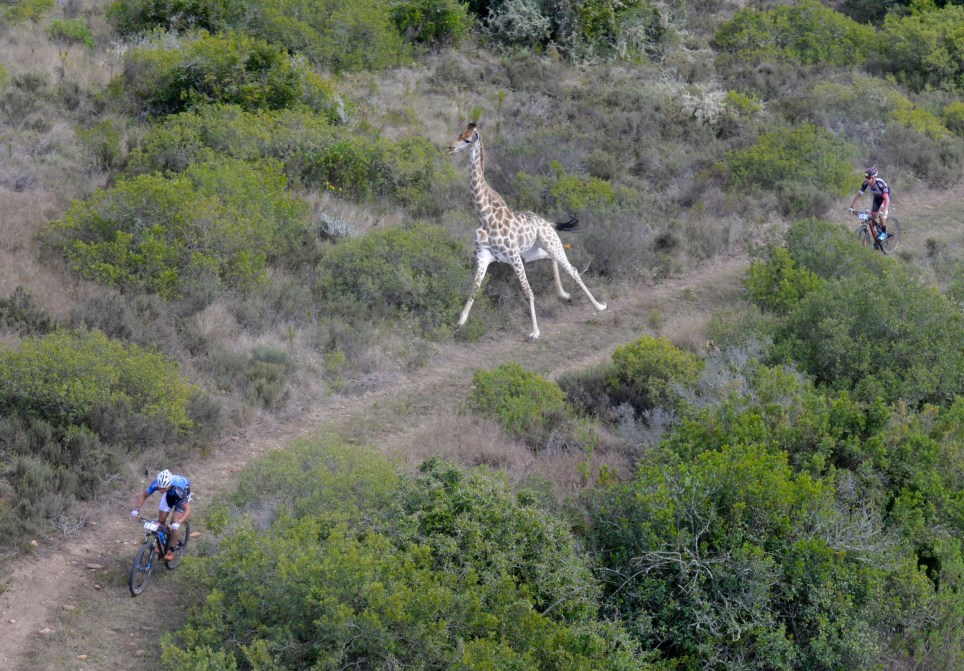 PIC BY Zoon Cronje/ Caters News - (PICTURED: The giraffe joining in the bike race) - This is the extraordinary moment a giraffe gave chase to a group of cyclists during a bike race. The cyclists were taking park in the Cape Pioneer Trek, a mountain bike race in South Africa when an enthusiastic giraffe darted out of the bush and began chasing after them. Clearly not wanting to finish last, the competitive giraffe chased after the cyclists and started running alongside them during the race. The cyclists can be seen looking over their shoulders, shocked by the unexpected competitor who had joined them in the race. SEE CATERS COPY.