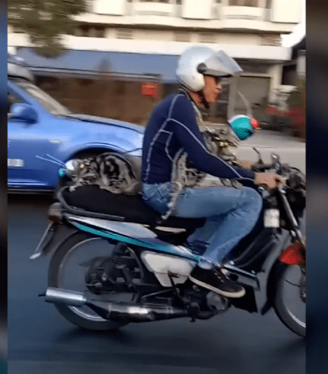 Just two cats in helmets riding a motorbike