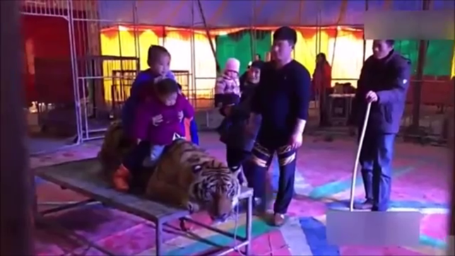 Circus ties endangered tiger down on a table so people can get selfies Credit: YouTube