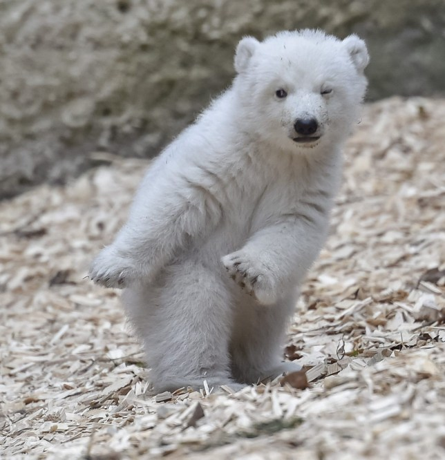 Polar bears are now doing the 'dab' at Munich's Hellabrunn