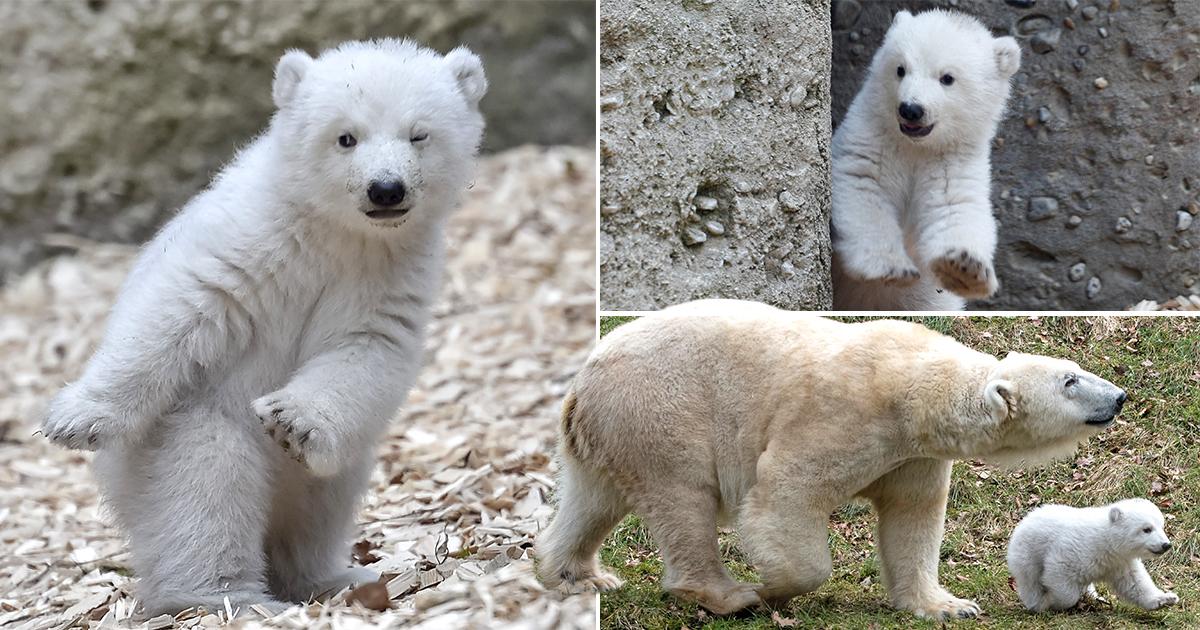 Even cute polar bears are doing the 'dab'
