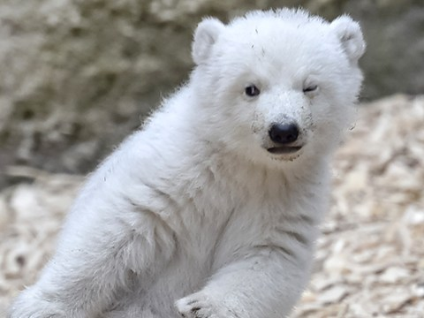 Even cute polar bears are doing the 'dab'