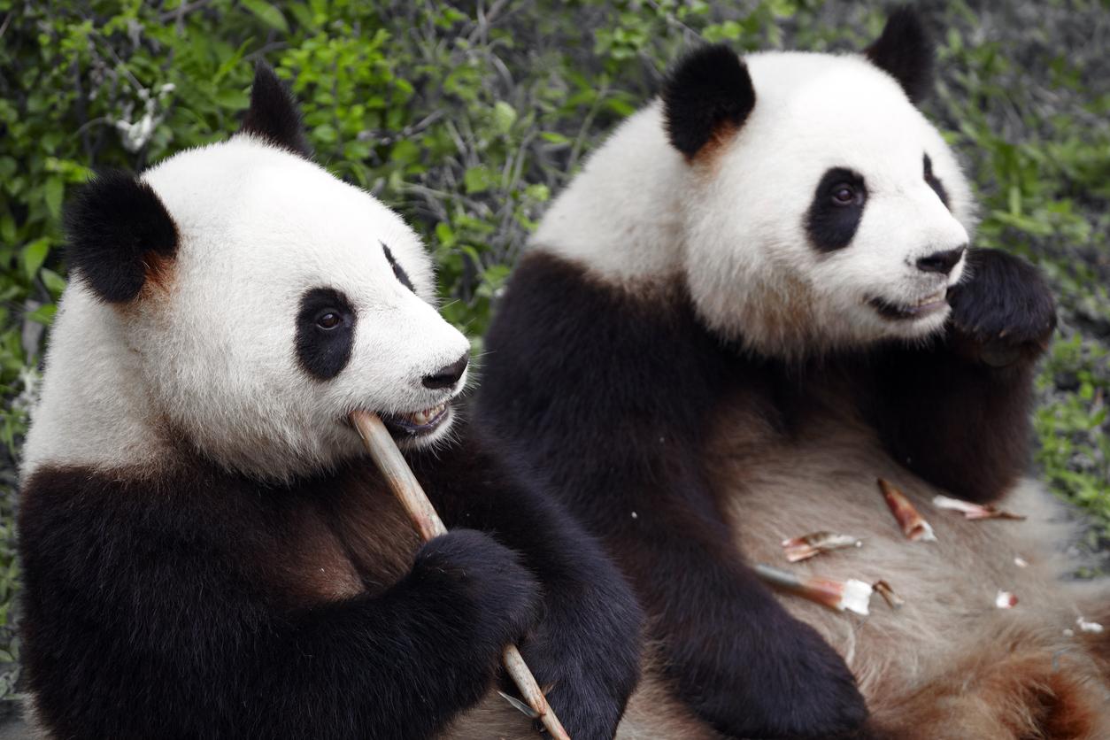 Porr Panda
