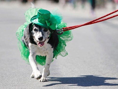 The dogs celebrating St Patrick's Day in style