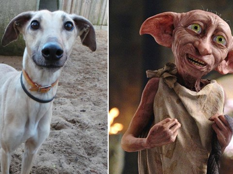 A dog that looks just like Dobby the house elf needs a new home