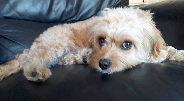 PIC FROM Caters News - (PICTURED: Saffy) - An adorable pooch has dropped down dead after eating a CORN ON THE COB. Devastated owner, Joanne Palmer, 46, from Cheshire, was unaware her dog, Saffy, two, had eaten a corn on the cob while on a walk. And just seven days later, Saffy, a small Cavachon breed, died as a result of the corn on the cob tearing her internal organs. Joanne, who was unaware the food was a danger to dogs is now sharing her tragic story in a bid to raise awareness. SEE CATERS COPY.