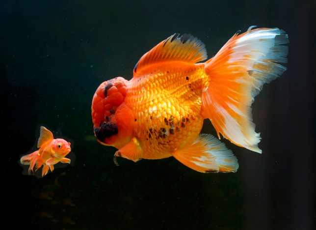 PIC BY Jason Mitchell/ Caters News - (PICTURED: Rocky, who is possibly the UKs FATTEST goldfish starring at a normal size goldfish.) - Is this the UKs fattest goldfish? Rocky the red oranda is six inches long, four inches wide and weighs a whopping 2lbs 10. But the oddly bulbous creature is almost worth its weight in gold, as its rare size and breed makes it worth XXX That makes Rocky incredibly desirable among fancy goldfish collectors. SEE CATERS COPY.