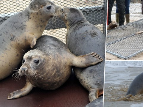 Seal sanctuary release 16 pups into the sea after nursing them back to health