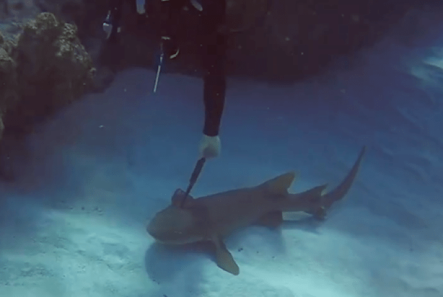 Diver Ben pulls the knife out of the unfortuante shark's head (Picture: Facebook/Cayman Brac Beach Resort)