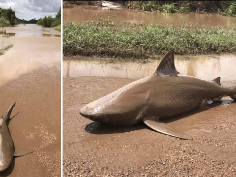 Man-eating shark found on road following Cyclone Debbie