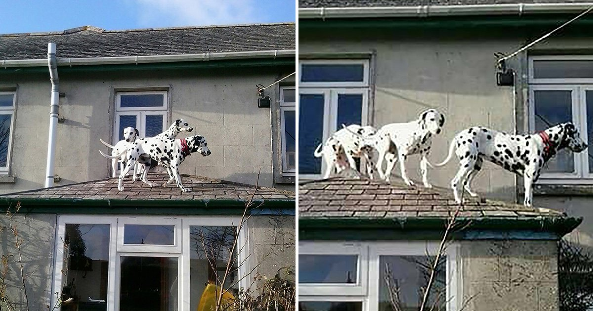 Three dalmatians got stuck on the roof of a house | Metro News