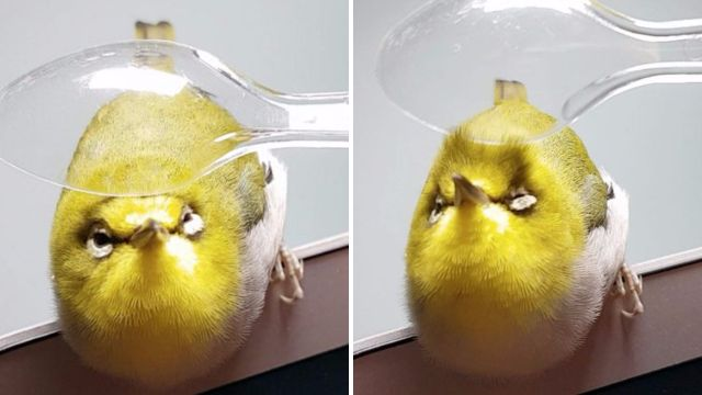 World's most pampered bird filmed getting a massage from a plastic spoon