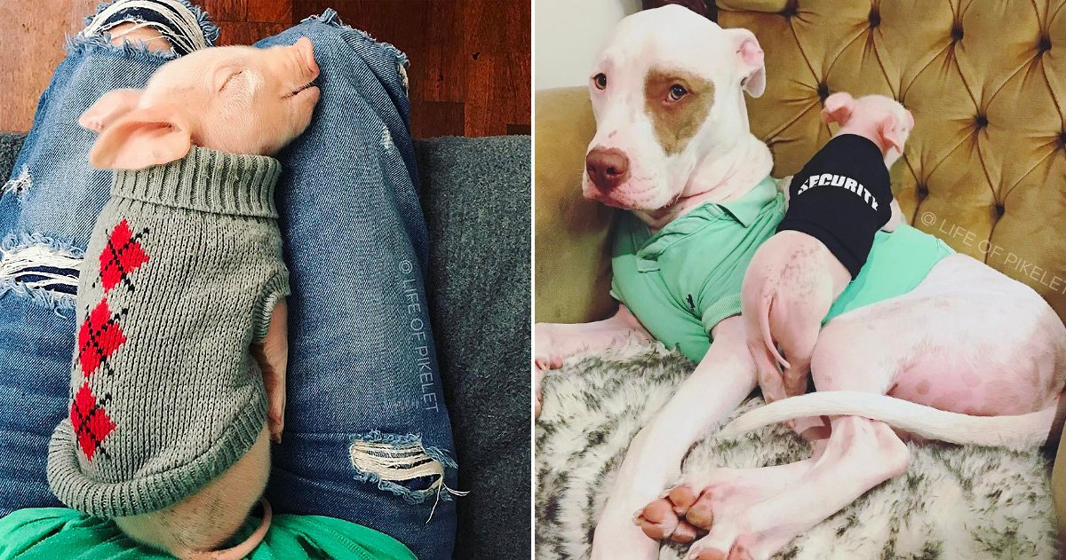 Piglet named Pillow rescued by dogs home who saw she was being sold for meat