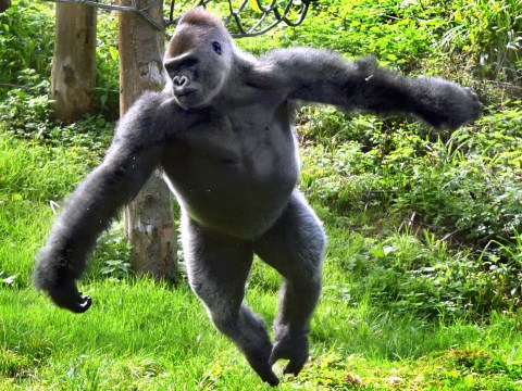 Attention-seeking gorilla wows crowds at his zoo by performing ballet routines